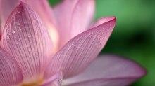 flower_pink_1080p_hd-HD